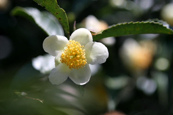 The tea flower looks like a camellia
