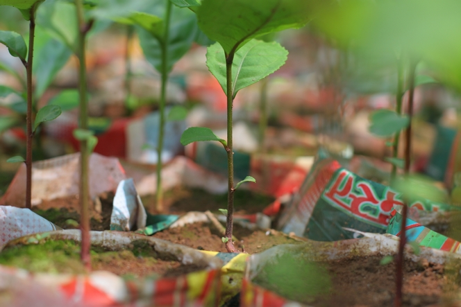 Growing the seed of a tea plant