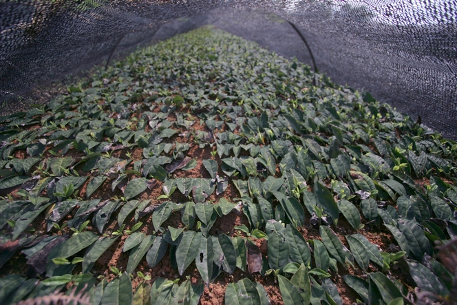 A nursery for young tea plants