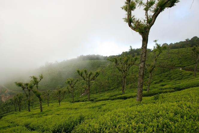 A tea plantation surrounded by mist