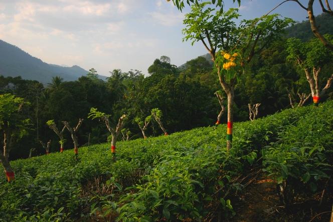 Tea trees looking like traffic lights