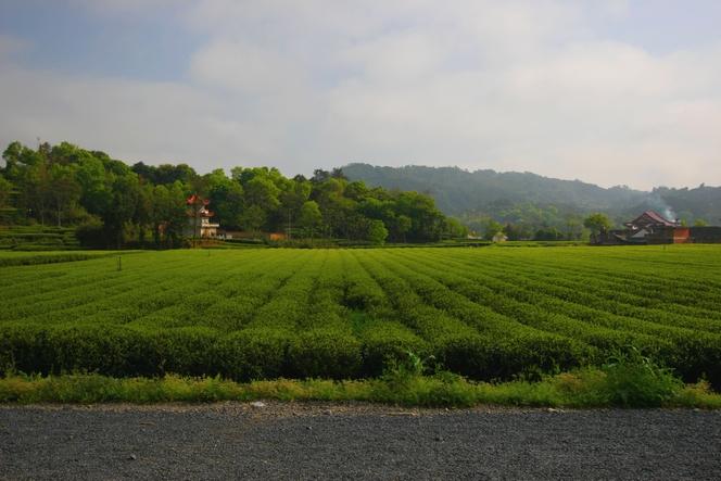 China, birthplace of tea