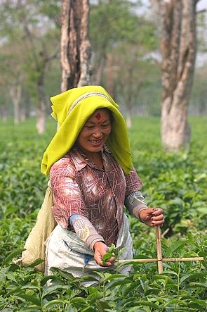 Cheerful plucker looking like a tea missionary