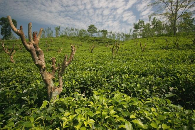 On a tea plantation, trees need to be pruned too