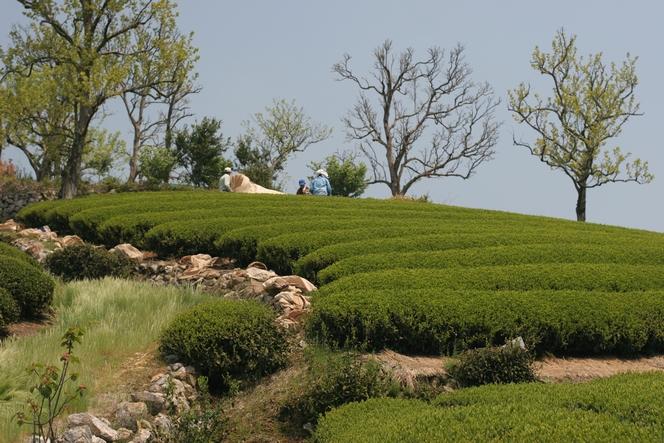 In Shizuoka, a festival is dedicated to green tea