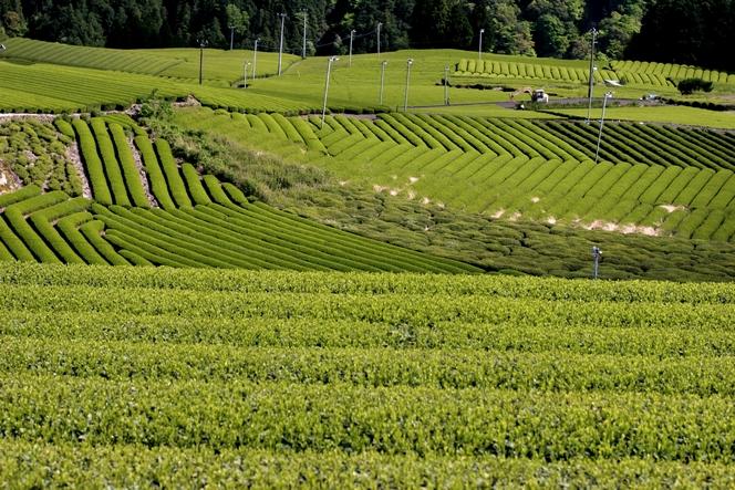 Rangées de théiers parfaitement alignés au Japon.