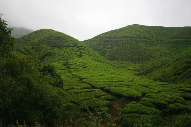 Sungai Palas : the biggest tea plantation in Malaysia