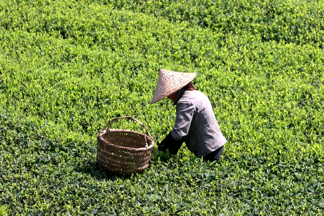 Tea leaves ready for harvesting are yellow-green