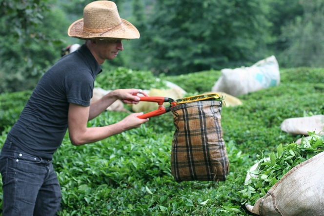In Turkey, one uses clippers to pluck tea