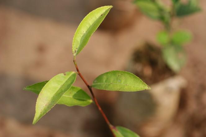 "My favourite tea plant: ""Ambari Vegetative 2"""