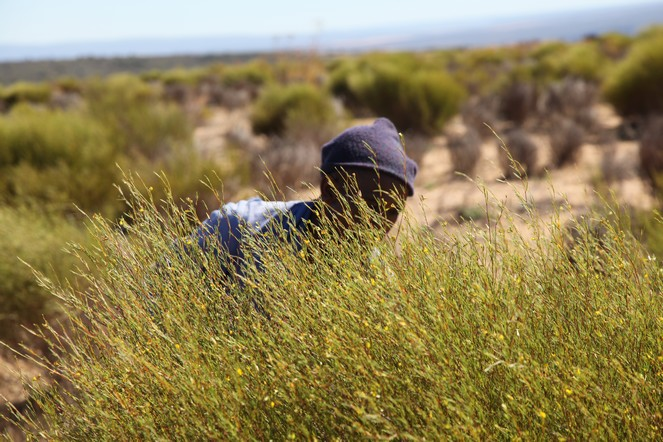 The rooibos harvest in South Africa