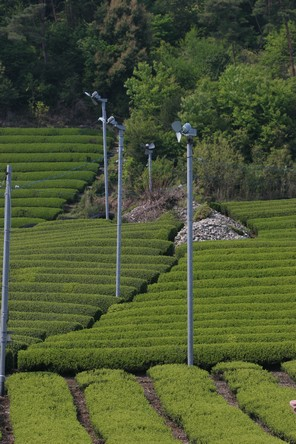 Strange shapes in the Japanese tea fields - Discovering Tea