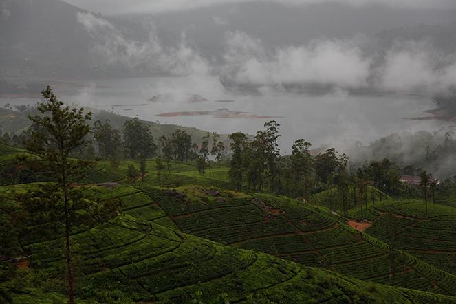 A tea field in Sri Lanka