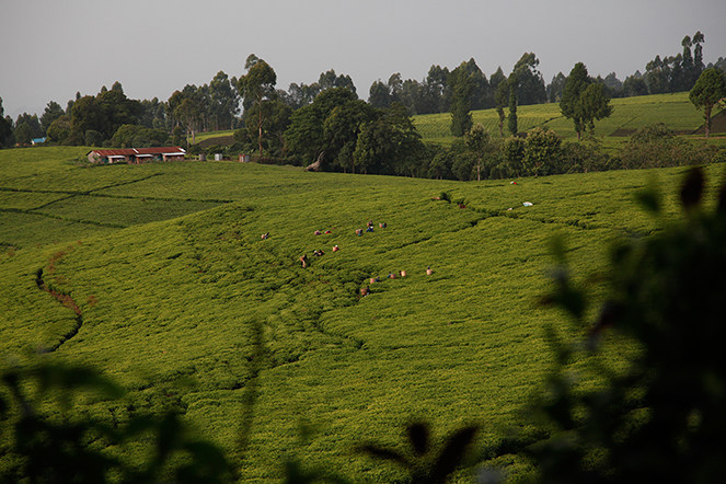 Tea from the slopes of Mount Kenya