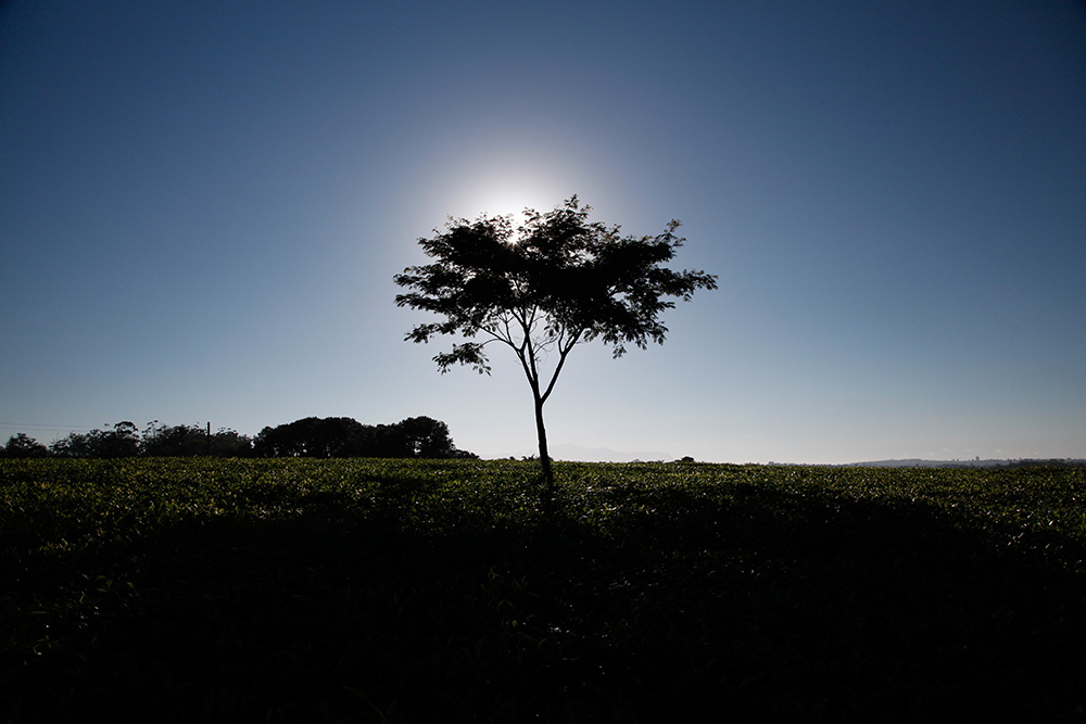 Malawi tree