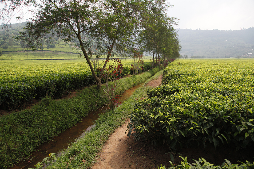 Irrigation and drainage of tea plants on flat lands