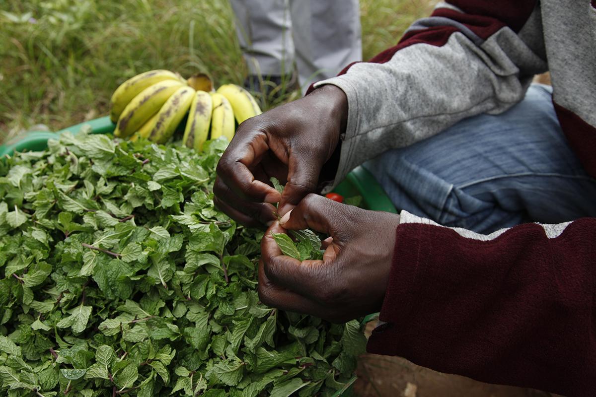Farmers diversify their crops