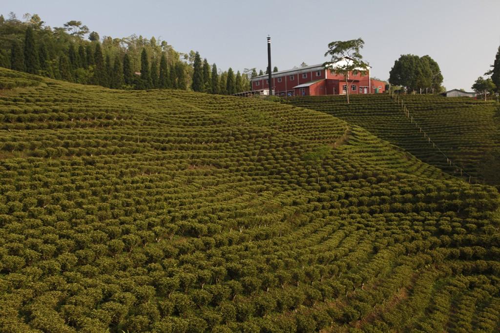 Kuwapani Tea plants