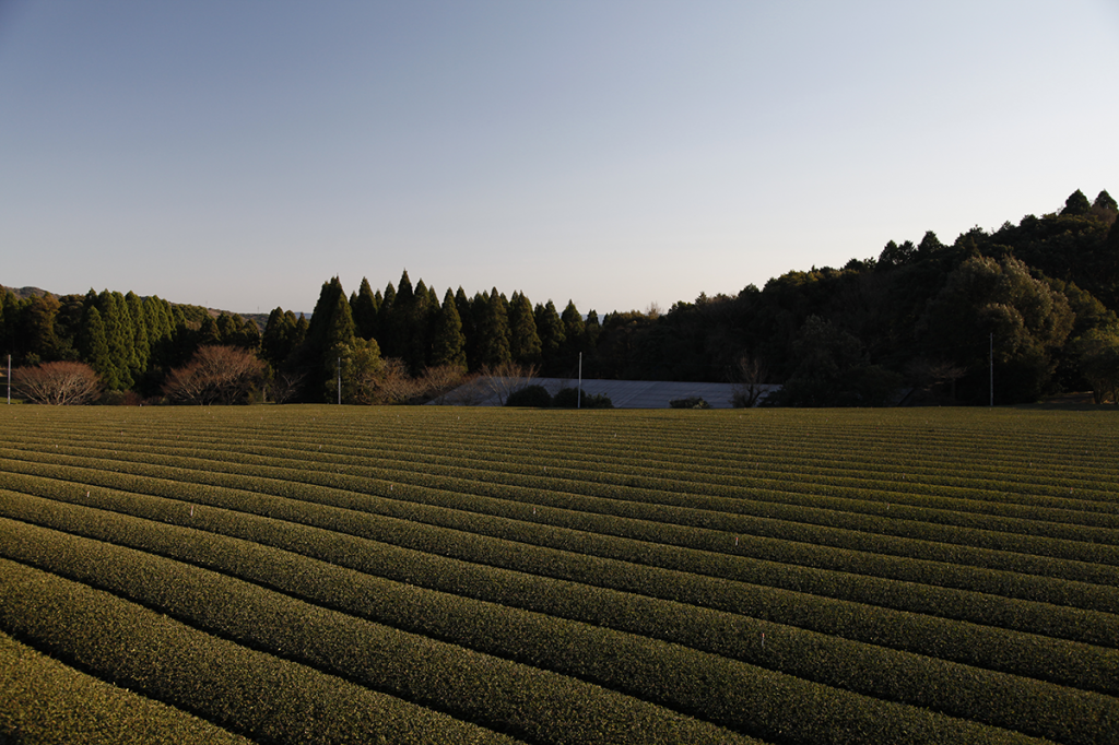 Tea fields in Kyushu