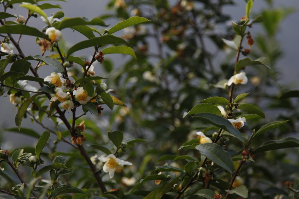 Tea plant blossom