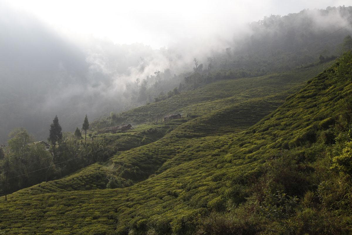 Tea tree Nepal