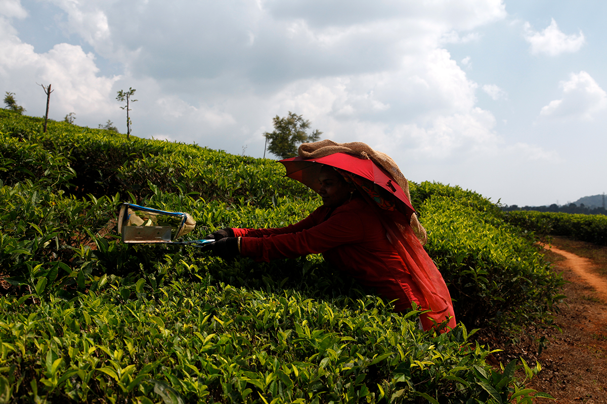 Tea is not always harvested by hand