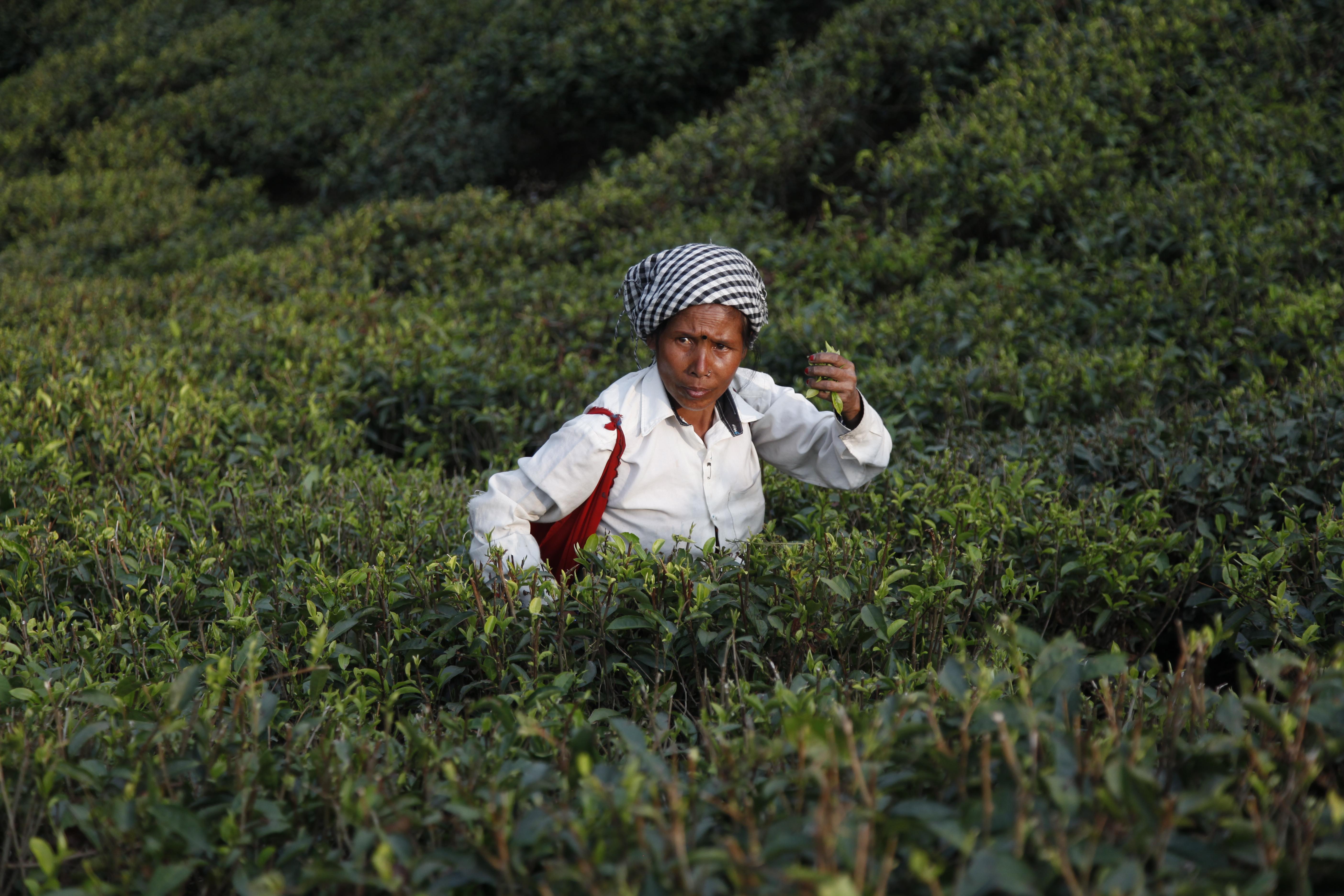 Darjeeling Opens the Season