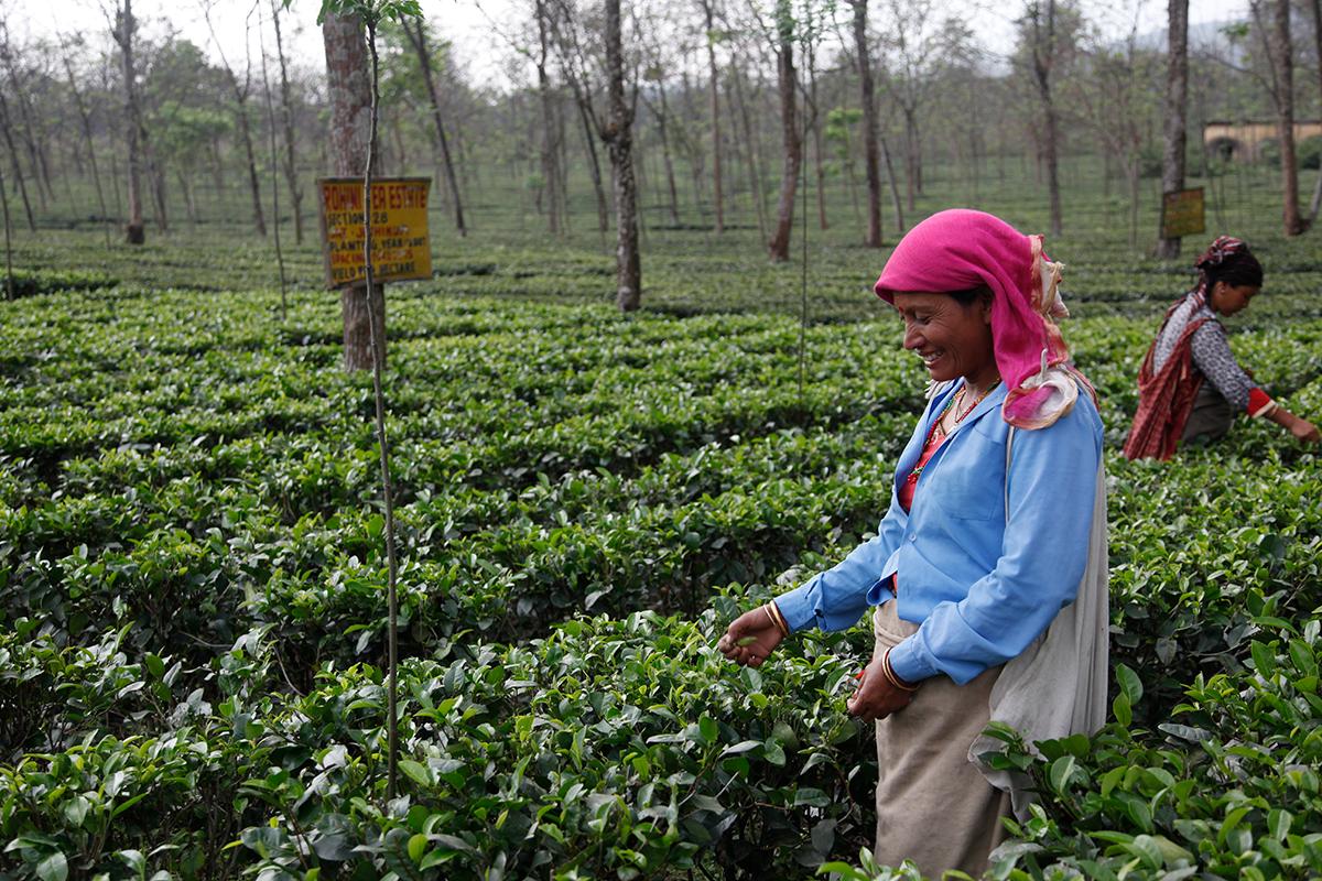 Rohini Early Spring, a premium tea from cultivar B157